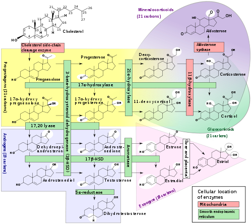 steroid hormone synthesis in mitochondria